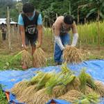 leerlingen-van-de-school-oogsten-en-verzamelen-rijst-van-de-proefvelden